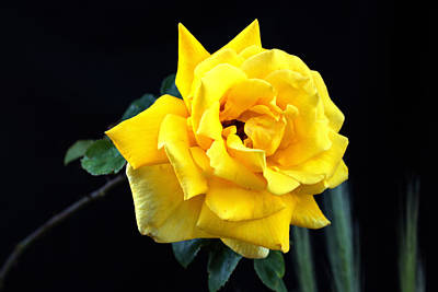 Art Print featuring the photograph Yellow Rose by Charles Ables