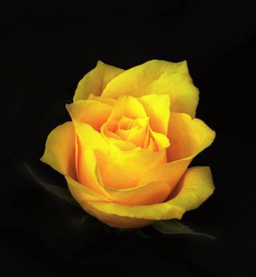 Photograph - Yellow Rose. by Chris  Kusik