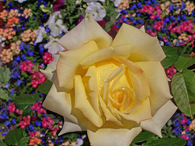 Photograph - Yellow Rose by Christopher Rowlands