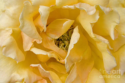 Photograph - Yellow Rose by Craig Lovell