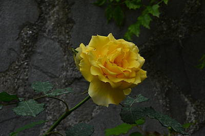 Photograph - Yellow Rose by Dany Lison