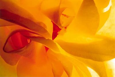 Photograph - Yellow Rose by David Rich