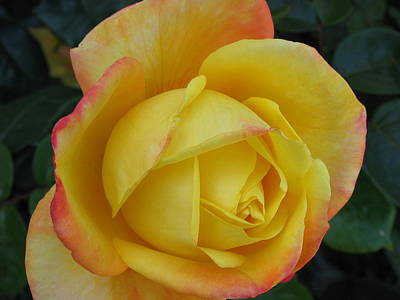 Photograph - Yellow Rose by Derek Dean