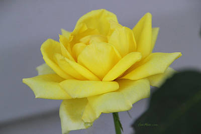 Manipulation Photograph - Yellow Rose by EricaMaxine  Price