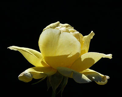 Photograph - Yellow Rose by Ernie Echols
