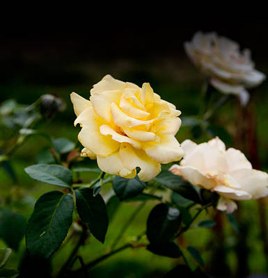 Photograph - Yellow Rose Fading by Carole Hinding