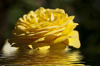 Photograph - Yellow Rose Flood by Steve Purnell