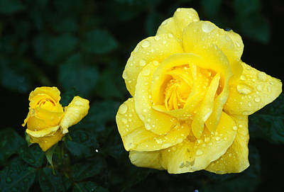 Two By Two Photograph - Yellow Rose Flowers Blooming, Close Up by Panoramic Images
