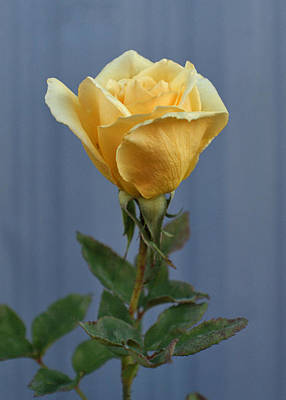 Photograph - Yellow Rose Greeting Card by Ernie Echols