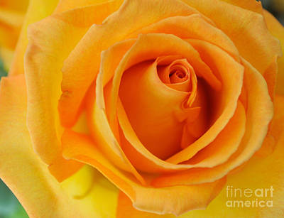 Photograph - Yellow Rose by Haleh Mahbod