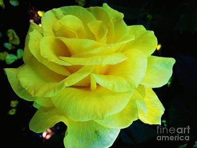 Photograph - Yellow Rose by Heather L Wright
