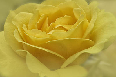 Photograph - Yellow Rose by Jeanne Hoadley