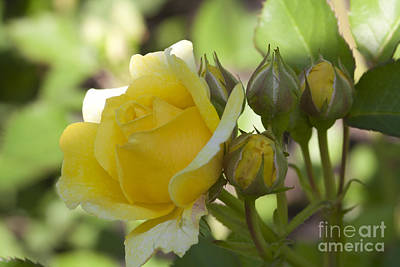 Yellow Rose  Original by Joel  Bourgoin