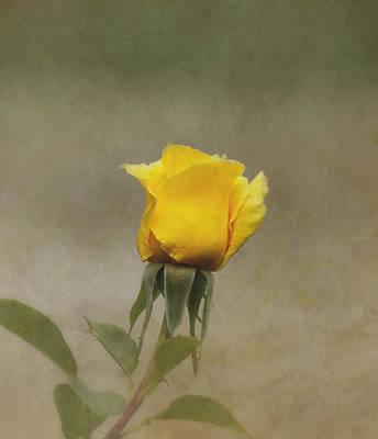 Yellow Rose Art Print by Kim Hojnacki