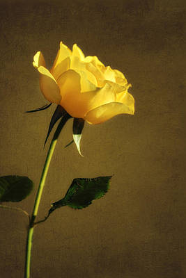 Rosaceae Photograph - Yellow Rose - Love And Friendship by Nikolyn McDonald