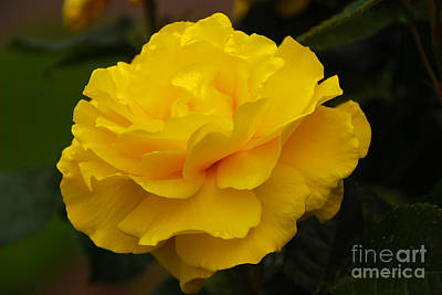 Photograph - Yellow Rose by Mary Carol Story