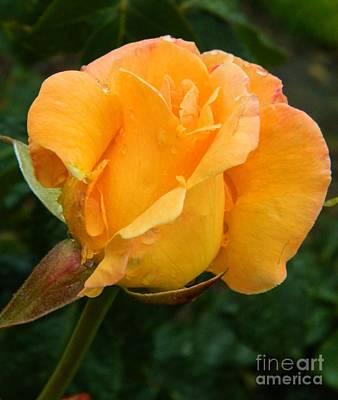 Yellow Rose Art Print by Micheal Jones