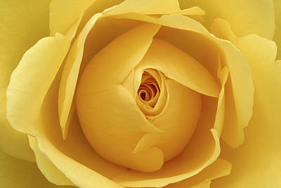 Photograph - Yellow Rose by Natalie Kinnear