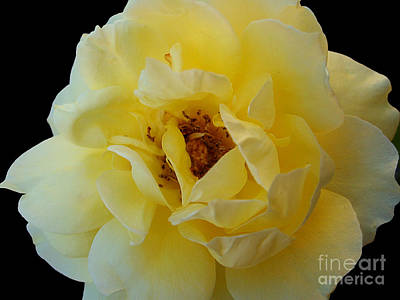 Photograph - Yellow Rose by Nina Ficur Feenan