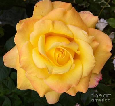 Photograph - Yellow Rose Of Friendship by Julie Koretz