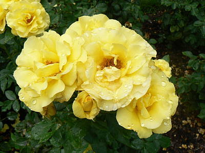 Art Print featuring the photograph Yellow Rose Of Pa by Michael Porchik