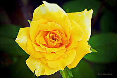 Photograph - Yellow Rose Of Texas 1 by Walter Herrit