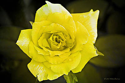 Photograph - Yellow Rose Of Texas 2 by Walter Herrit