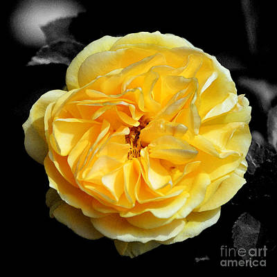 Digital Art - Yellow Rose Of Texas Floral Decor Square Format Color Splash Watercolor Digital Art by Shawn O'Brien
