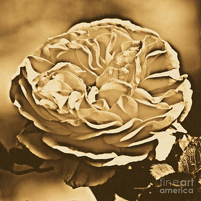 Yellow Rose Of Texas Floral Decor Square Format Rustic Digital Art Art Print