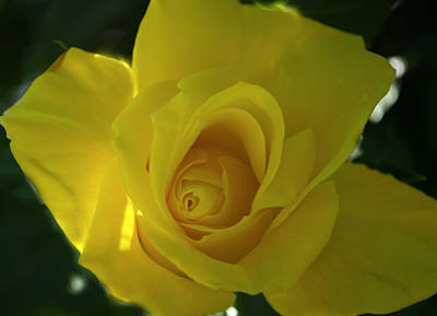 Nature Photograph - Yellow Rose by Rima Biswas