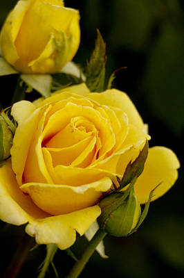 Photograph - Yellow Rose by Robert Camp