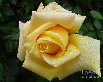 Yellow Rosebud Photograph - Yellow Rose Say Goodbye by Lingfai Leung