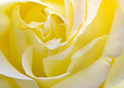 Yellow Rose Print by Svetlana Sewell