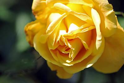 Photograph - Yellow Rose by Tony Murtagh