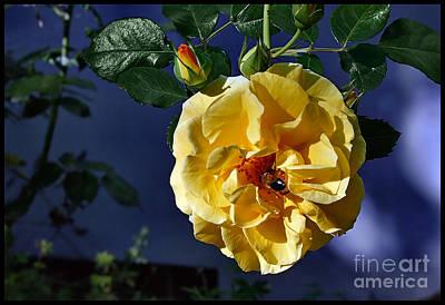 Photograph - Yellow Rose With Bee by Gabriele Pomykaj