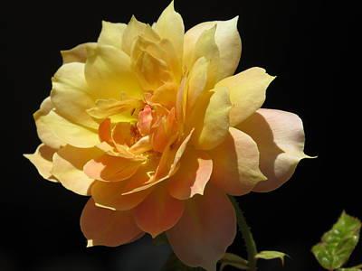 Yellow Rose Art Print by Zina Stromberg