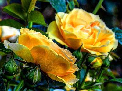 Rosaceae Photograph - Yellow Roses 001 by Lance Vaughn
