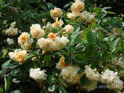 Photograph - Yellow Roses  by Katy Mei
