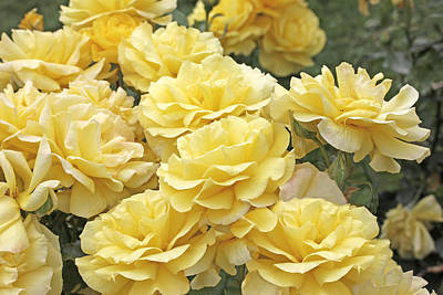Photograph - Yellow Roses In The Garden by Jennie Marie Schell