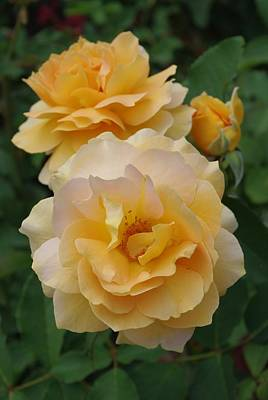 Photograph - Yellow Roses by Marilyn Wilson