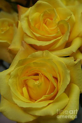 Nature Photograph - Yellow Roses by Megan Cohen