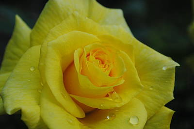 Photograph - Yellow Roses by Robert  Moss