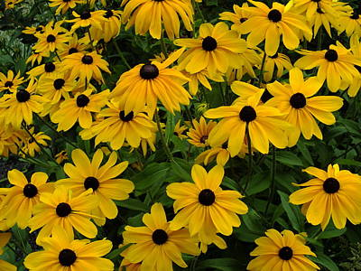 Photograph - Yellow Rudbeckias by Gene Cyr