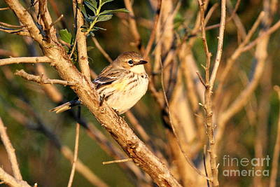 Photograph - Yellow Rumped At Sunset by Jennifer Zelik