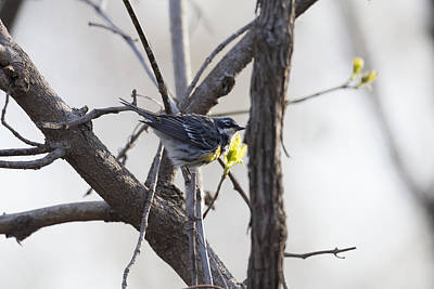 Photograph - Yellow-rumped Warbler - Myrtle by Jack R Perry