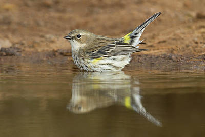 Starr Photograph - Yellow-rumped Warbler (dendroica by Larry Ditto