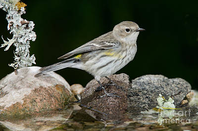 Yellow Rumped Warbler Photograph - Yellow-rumped Warbler Hen by Anthony Mercieca