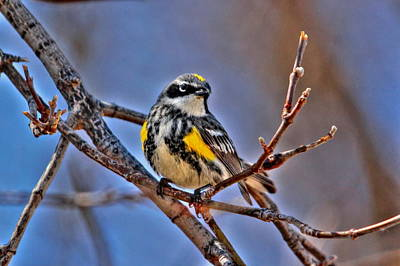 Yellow-rumped Warbler Art Print by Larry Trupp