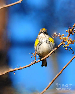 Photograph - Yellow-rumped Warbler by Olivia Hardwicke
