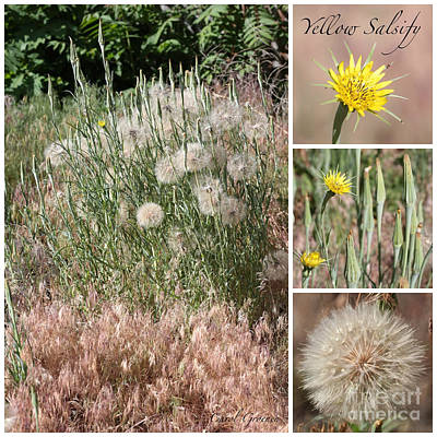 Salsify Wall Art - Photograph - Yellow Salsify Collage by Carol Groenen